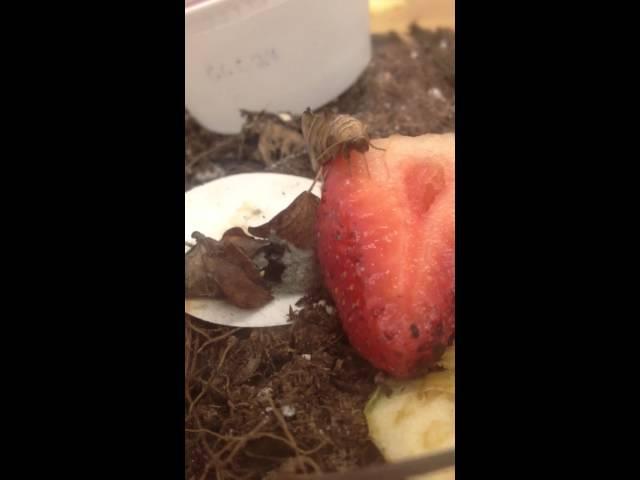 Vampire Moth, Calyptra canadensis, Piercing a Strawberry