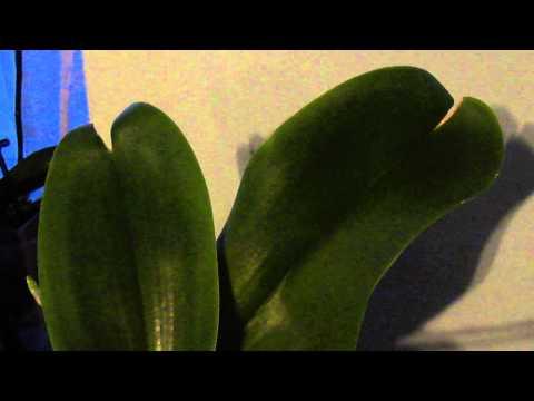 Треснул лист на орхидее- причины Cracked  leaf on orchid