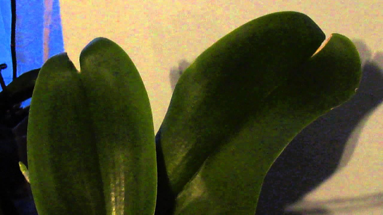 У орхидеи листья трескаются что делать