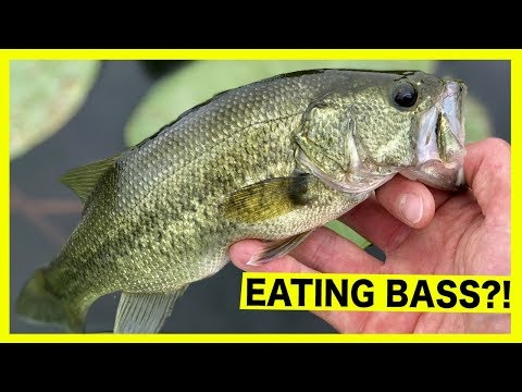 Should You Eat Bass?
