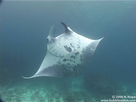 manta ray, manta, Manta birostris, Bali, Nusa Penida, Manta Point, scuba diving, underwater, diving, Indonesia, Nick Hope, Bubble Vision, ray, fish, pelagic, elasmobranch, Aquamarine, nature, travel, Asia, yt:quality=high