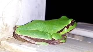 Квакша (древесная лягушка)
