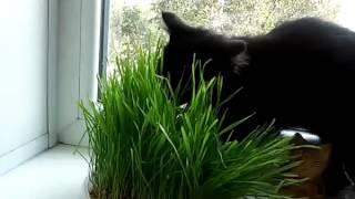 Черный котенок и трава от Котовасия TV