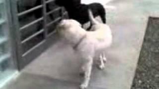 Guby E Krisca - Labrador Retriever