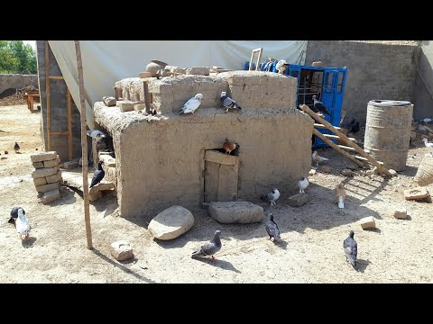 Fighter Pigeons (Kabootar) With Home Breeders In My Punjab Village Pakistan