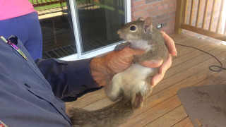 Squirrel Rescue, Orphaned After Storm. Cute! Sweet! Must See!