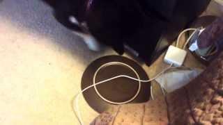 Shiba Inu Tantrum Over Empty Plate