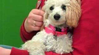 Sterling is a 6 month old Poodle who weighs 8 pounds. This beautifu...