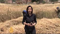 Egyptian wheat farmers face a hard time