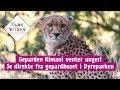 Geparden Kimani venter unger - følg henne live her!