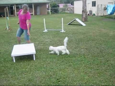 Longhair Burmilla Cat Cosmo doing agility.wmv
