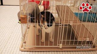 リッチェル バンビーノ キャットサークルをアビシニアンの仔猫達も使え...