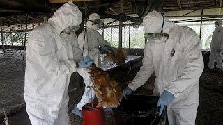 Cameroun : 15.000 volailles mortes de la grippe aviaire dans une ferme de Yaoundé