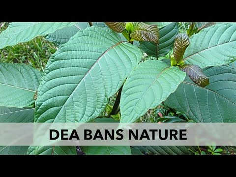 The DEA Bans Kratom, Another Helpful Plant