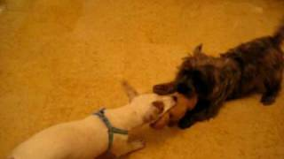 Cairn Terrier & Jack Russell Dog Sitting (junie's Dog Hotel, Singapore) Call 8186 5999.avi