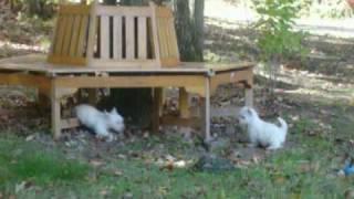 Ga Westie Puppies Snowesti Angels