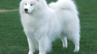 كلب السامويد الاصل روسيا من اجمل الكلاب مع جمال العمواسي
