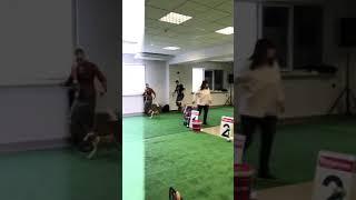 Выставка собак САС-ЧФ 2018 Ростов-на Дону