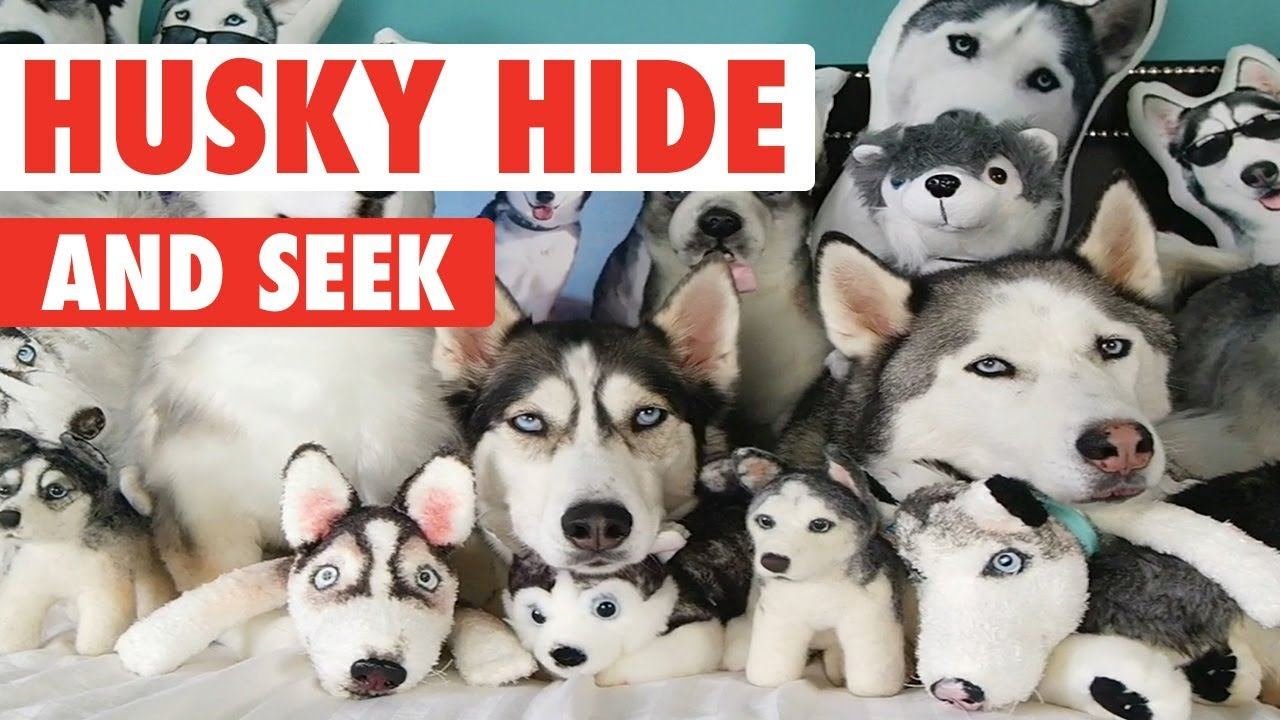 Huskies Hide Among Sea of Stuffed Animals