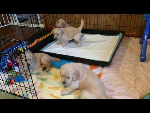 Skillmans raise 11 Leader Dog puppies