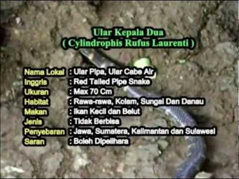 Ular Kepala Dua (Cylindrophis rufus) - BudiPedia