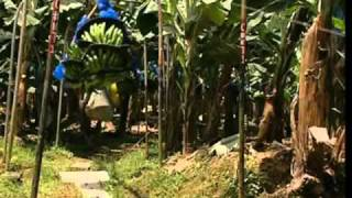 The Journey Of Bananas: From Land To Your Hand