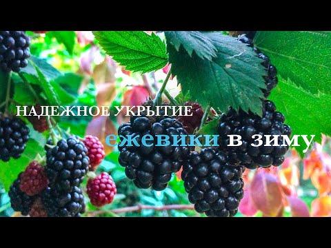 Вопрос: Как подготовить к зиме садовую ежевику?
