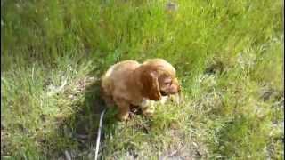 Jason English Cocker Spaniel Puppy