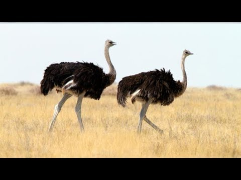 National Geographic Documentary Wild - THE BIGGEST BIRD ALIVE Its Ostrich - BBC Documentary History