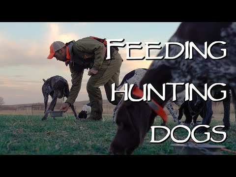 Hunting Dog Health - Feeding Your Dog On The Road