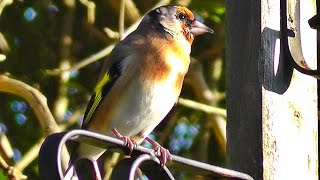 Goldfinch Singing in Slow Motion - With Amazing Slowed Down Bird Song Audio - Birds