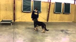 "Beautiful Black & Red German Shepherd Male ""vlad"" Obedience Protection Trained For Sale"