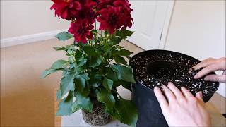 Download Video Planting Up My New Dahlia Plant 2017 MP3 3GP MP4