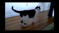 hqdefault - Feline Diabetes And Hind Leg Weakness