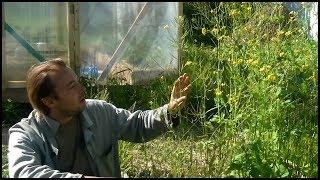 Как получить свои семена репы и капусты