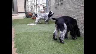 庭でインギーが遊んでます。6頭います。 上は12歳下は4ヵ月です(*^_^*) ...