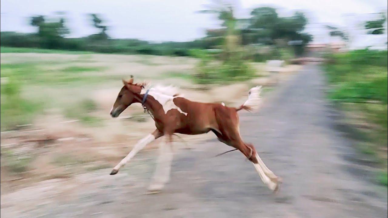 Horse Sivani , Breed Sindhi