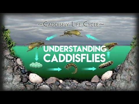 Caddis Fly Life