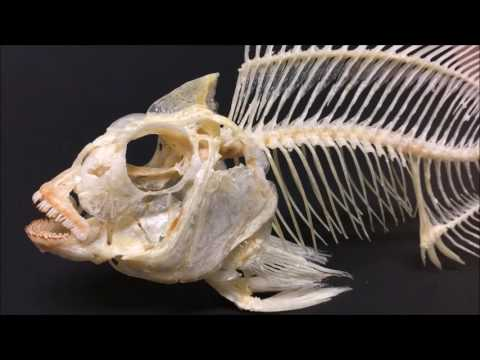Tilapia Skeleton