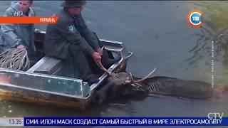 Чернобыль: из радиоактивного озера спасли тонущего лося