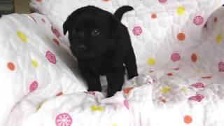 関西・岡山ラブラドール子犬販売 http://www.at-breeder.net/labrador_r...