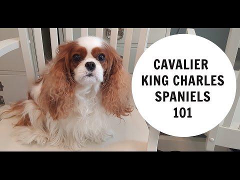 Cavalier King Charles Spaniels 101