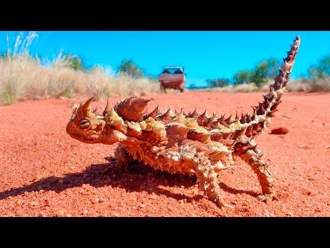 Молох ящерица - Thorny dragon
