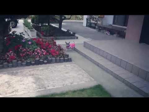 犬♡チワワ♡ももちゃん⑩(ももちゃんダッシュ!)