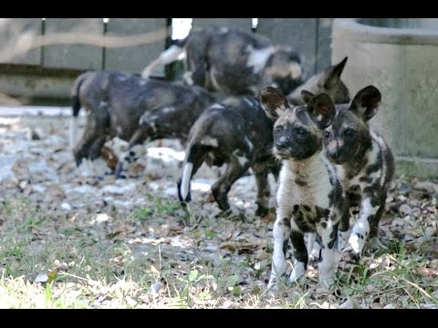 African Painted Dog Pups at the Audubon Zoo
