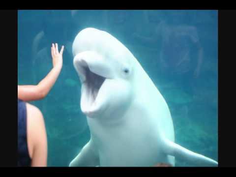 Beluga Whale Juno at Mystic Aquarium