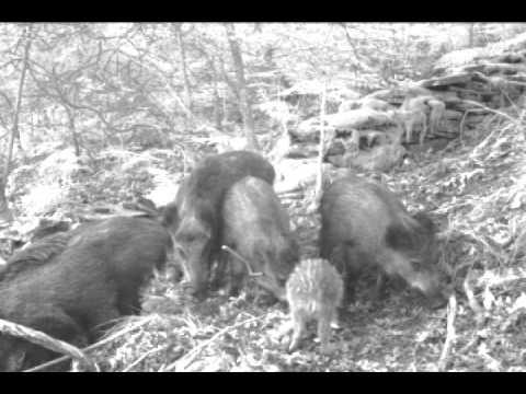 Wild boar in Portugal