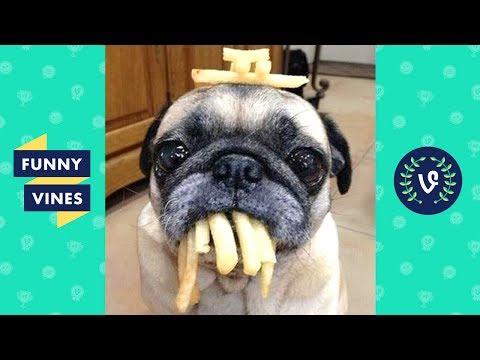 Adorable Pug Compilation - Cute Dog Videos   Funny Vines