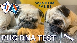 PURE pug or CROSS breed? We DNA tested our Pug with Wisdom Panel and here's the result...