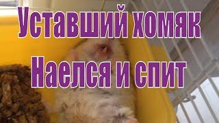 Хомяк  наелся и спит. Прикол.Hamster is sleeping.